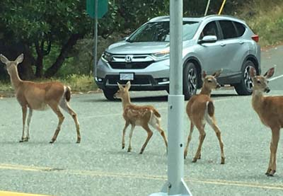 Deer causing traffic jam